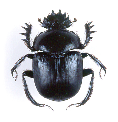 godofinsects.com :: Sacred Scarab Beetle (Scarabaeus sacer)
