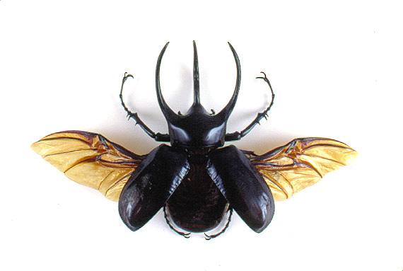 Giant Atlas Beetle godofinsects.co...