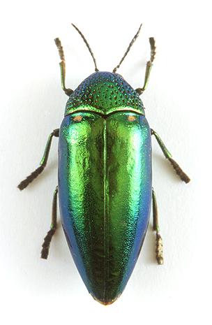 godofinsects.com :: Jewel Beetle (Sternocera aequisignata)