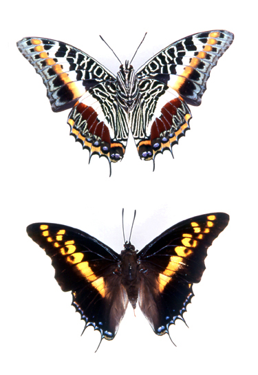 godofinsects.com :: Charaxes Butterfly (Charaxes castor)