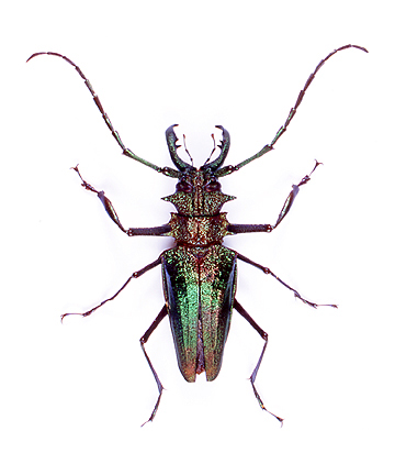 Giant Longhorn Beetle Long-horned beetles  Giant Horned Beetle