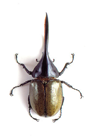 godofinsects.com :: Giant Hercules Beetle (Dynastes hercules)