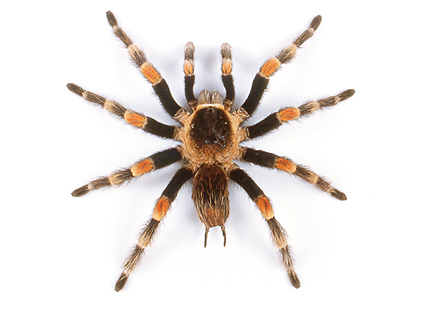 tarantula-with-wings