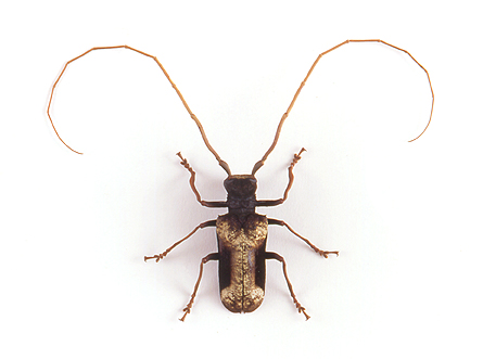 godofinsects.com :: Giant African Longhorn Beetle (Petrognatha gigas)  Giant Horned Beetle
