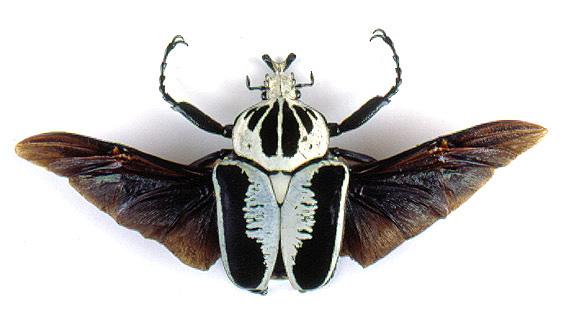 scarab beetles scarabaeidae
