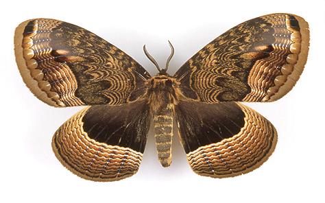 fluturi coreeni 159_1
